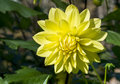 Yellow Dahlias Blossom Royalty Free Stock Photo