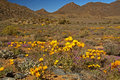 Yellow daisies in Namaqualand Royalty Free Stock Photo