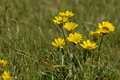 Yellow daisies in the wild growing a field of grass Stock Photography