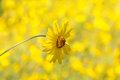 Yellow daisy closeup of a with an out of focus background horizontal format Royalty Free Stock Photos