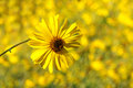 Yellow daisy closeup of a with an out of focus background horizontal format Royalty Free Stock Images