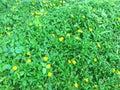 Yellow daisy field. Royalty Free Stock Photo