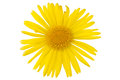 Yellow daisy flower Royalty Free Stock Photography