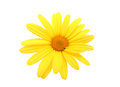 Yellow daisy flower Stock Images
