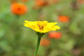 A yellow daisy flower. Royalty Free Stock Photo