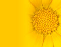 Yellow Daisy Flower with Gradient to Yellow Stock Photo