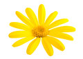 Yellow Daisy Royalty Free Stock Photo