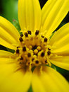 Yellow Daisy Flower Macro Close Up Royalty Free Stock Photography