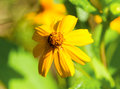 Yellow daisy flower in sunny flowerbed. Summer garden macro photo Royalty Free Stock Photo