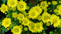 Yellow daisy flowers Royalty Free Stock Photo
