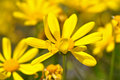 Yellow Daisy Macro Close Up Royalty Free Stock Photos