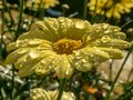 Yellow daisy after rain in evening sun Royalty Free Stock Photo