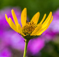 Yellow daisy in summer Royalty Free Stock Photo