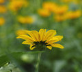 Yellow Daisy And Sunlight