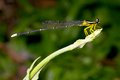 Yellow damselfly Stock Photos