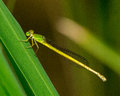 Yellow damselfly beautiful brilliant resting on a blade of grass Stock Images