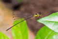 Yellow damselfly close up of perching on green leaf Stock Photography