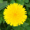 Yellow dandelion Stock Image