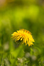 Yellow dandelion on abstract green background. Shallow depth of