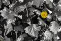 Yellow dandelion autumn background Royalty Free Stock Photo