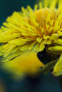 Yellow dandelion beautiful in bloom Royalty Free Stock Images