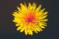 Yellow dandelion Royalty Free Stock Photo