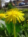 Yellow dandelion close up in a medow next to the bus station of lat taraxacum officinale on sunny spring day on green blurry Royalty Free Stock Photo