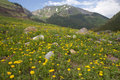 Yellow dandelion field with mountain Royalty Free Stock Images