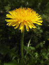 Yellow dandelion flower Royalty Free Stock Image
