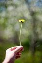 yellow dandelion flower close up, macro, spring background Royalty Free Stock Photo