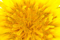 Yellow dandelion flower close-up with pollen on it