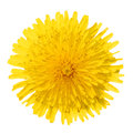 Yellow dandelion flower isolated on white taraxacum officinale top view Royalty Free Stock Image