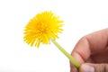 Yellow dandelion flower on white taraxacum officinale background Stock Images
