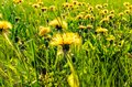 Field  of first spring dandelion flowers  under sunny day. Royalty Free Stock Photo