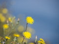 Yellow dandelion flowers in front of a blue defocused sea Stock Photo
