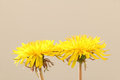Yellow dandelion flowers in soft mood Royalty Free Stock Photo