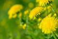 Yellow dandelion flowers Taraxacum officinale. Dandelions field background on spring sunny day. Blooming dandelion. Royalty Free Stock Photo