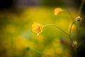 Yellow dandelion on green field
