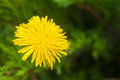 Yellow dandelion on green grass Stock Images
