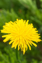 Yellow dandelion on green grass Royalty Free Stock Images