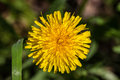 Yellow Dandelion plant on the green field closeup in spring