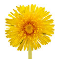 Yellow dandelion taraxacum officinale flower close up on white background a front view of a a Royalty Free Stock Photos