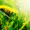 Yellow dandelions Royalty Free Stock Photo