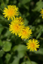 Yellow dandelions close up. Royalty Free Stock Photo