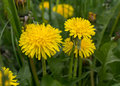 Yellow dandelions close-up Royalty Free Stock Photo