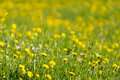 Yellow dandelions and green grass Royalty Free Stock Photo