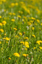 Yellow dandelions and green grass Royalty Free Stock Photos