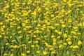 Yellow dandelions on green grass Royalty Free Stock Photo