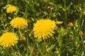 stock image of  yellow dandelions among green grass. close up view