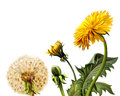 Yellow dandelions isolated realistic illustration white background Royalty Free Stock Image